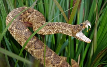 How to Remove Rattle Snake from Your Back Yard